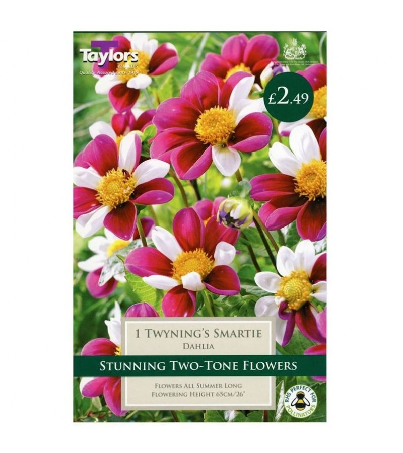 Taylors Bulbs - Twyning's Smartie Dahlia (Single)