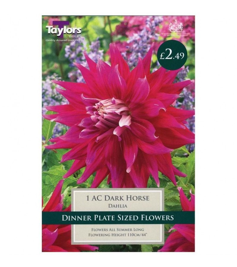 Taylors Bulbs - AC Dark Horse Dahlia (Single)