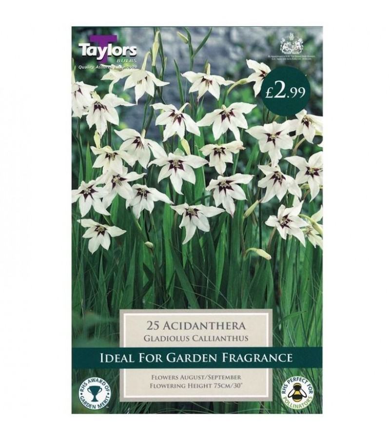Taylors Bulbs - Gladiolus Callianthus (Acidanthera) (Pack of 25)