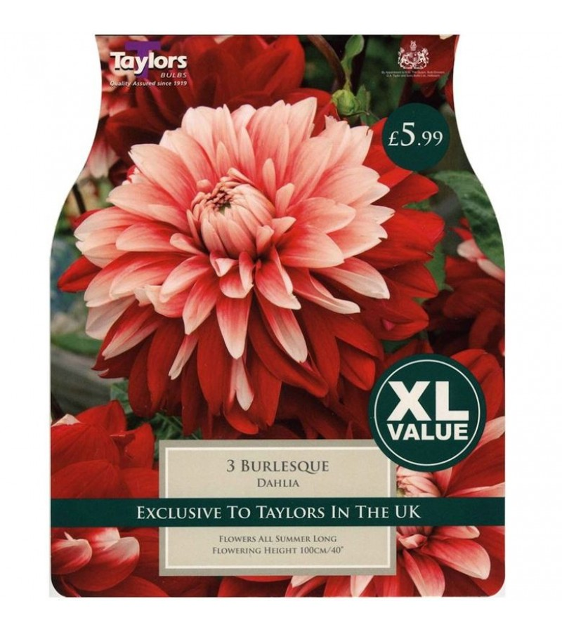 Taylors Bulbs - Burlesque Dahlia (Pack of 3)
