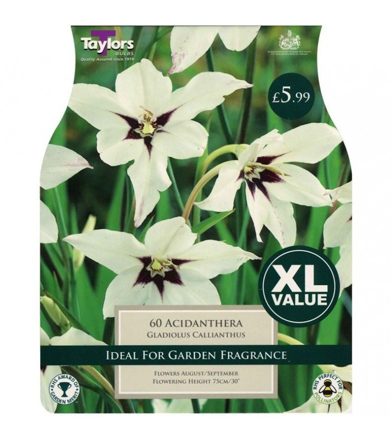 Taylors Bulbs - Gladiolus Callianthus (Acidanthera) (Pack of 60)