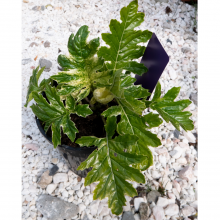 Acanthus Whitewater - 3 Litre