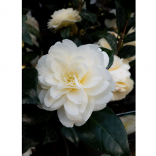 Anniversary Camellia Shrubs (Available in 3 colours) From