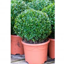 Buxus – 23cm Round Topiary Ball