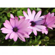 Summer Bedding plants - 1 Litre