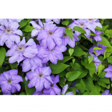 Clematis (Various Colours)