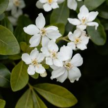 Choisya Shrub - 3 Litre (Two varieties)