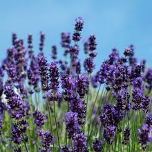 Lavender 2 litre