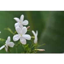 Jasmine - 3 Litres