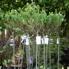 Salix Willow Hakuro Nishiki -  5 Litre