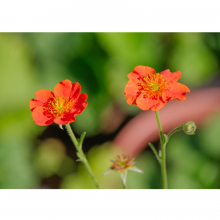 Geum - 3Litre  (Two Varieties)
