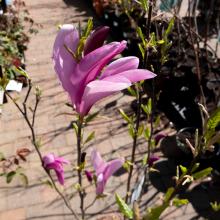 Magnolia (7 Varieties)