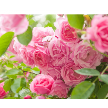 David Austin Roses -6 Litre