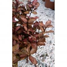 Pseudowintera (Colorata) - 3 Litre