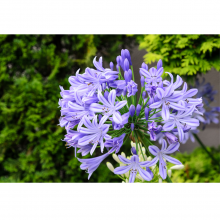 Agapanthus (Two Varieties) From