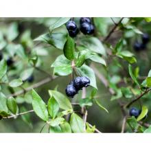 Blueberry Plant - 3 Litre