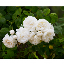 Anniversary Roses (Available in 7 Varieties)