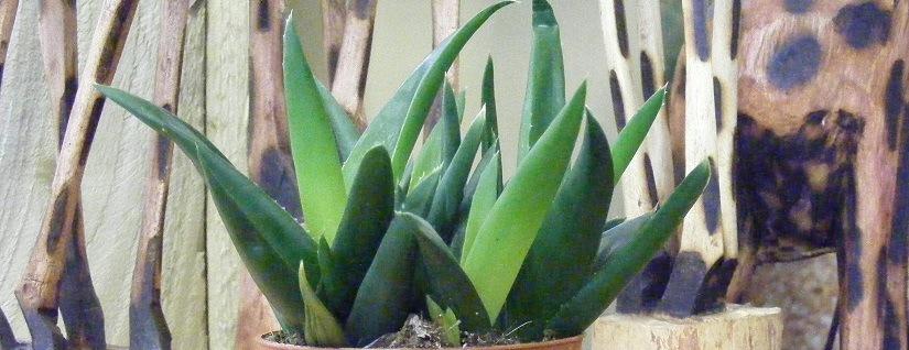 Aloe Vera Houseplants