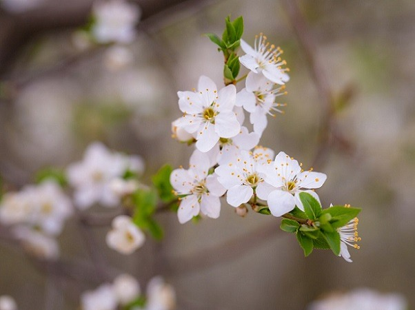 Five aromatic plants for a sweet scented garden