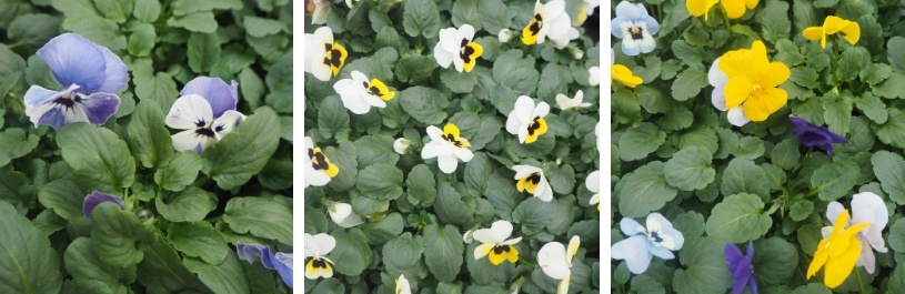 pansies and Violas, Autumn Bedding